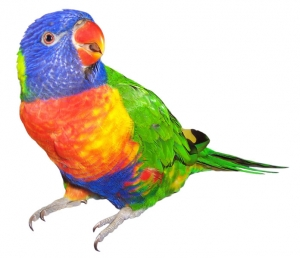 'Rainbow Lorikeet' by Sarah Williams